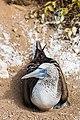 Piquero patiazul (Sula nebouxii), Punta Pitt, isla de San Cristóbal, islas Galápagos, Ecuador, 2015-07-24, DD 35.JPG