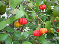 Pitanga (Eugenia uniflora).JPG