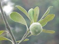 Pittosporum crassifolium1.jpg