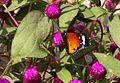 Plain Tiger.Danaidae.C. Chrysippus - Flickr - gailhampshire.jpg