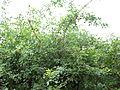 Plant Niir-puulaa.jpg