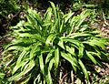 Plantainleaf Sedge, Plaintain-leaved Wood Sedge (Carex plantaginea) in shade bed at the Morton Arboretum - Flickr - Jay Sturner.jpg