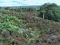 Plantation of oak saplings above and north of Na h-Easan near Brae - geograph.org.uk - 1426469.jpg