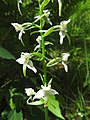 Platanthera chlorantha 21.jpg