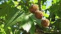 Platanus orientalis - ripe fruit..JPG