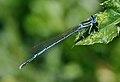 Platycnemis pennipes qtl2.jpg