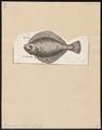 Pleuronectes platessa - 1788 - Print - Iconographia Zoologica - Special Collections University of Amsterdam - UBA01 IZ14000213.tif
