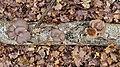 Pleurotus ostreatus 103777681.jpg