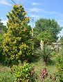 Plodove Novokahovka's Arboretum 42 (YDS 1156).jpg