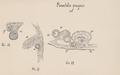 Plumatella fungosa 2.png