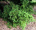 Podocarpus totara in Auckland Botanic Gardens 03.jpg
