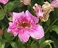 Podranea ricasoliana (Pink Trumpet Vine) in Hyderabad W IMG 5684.jpg