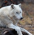 Polarwolf - Canis lupus arctos 1.jpg
