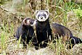 Polecat pair geograph.co.uk. 2009035.jpg