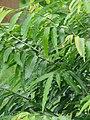 Polyalthia longifolia - Kolkata 2004-07-13 01745.JPG
