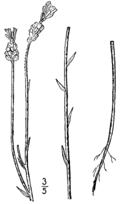 Polygala incarnata drawing.png