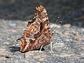 Polygonia comma Kaldari 01.jpg