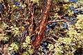 Polylepis Tarapacana branch 1.jpg