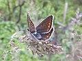 Polyommatus icarus, female, Piazzo 05.jpg