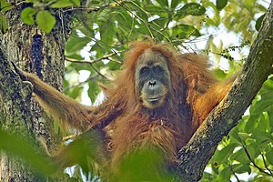 Tapanuli orangutan - Adult female