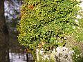 Porella platyphylla.jpg