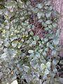 Possible Ulmus 'Myrtifolia'. Edinburgh (4).jpg