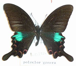 Papilio polyctor - P. p. ganesa