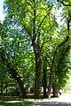 Praha, Liboc, Obora Hvězda, památný strom (Petřinská strana III).JPG