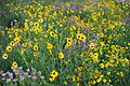 Prairie Sunflowers and Rocky Mountain Beeplants in Grasslands west of Dunes (28043494274).jpg