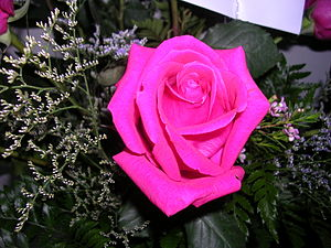 This is a pretty pink rose.