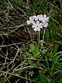 Primula farinosa 001.jpg