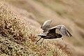 Procellaria aequinoctialis - Taking Off.jpg