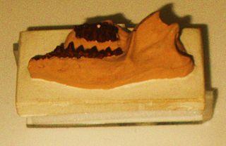 <i>Protungulatum</i>