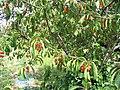 Prunus4.jpg