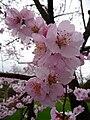 Prunus dulcis Blüten.JPG