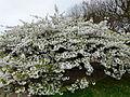 Prunus en fleurs.JPG