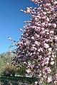 Prunus serrulata 'Kanzan' in the Jardin des Plantes of Paris 001.JPG