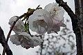Prunus serrulata Shirotae 4zz.jpg