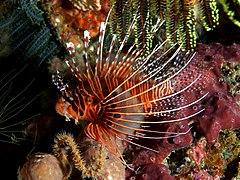 Pterois antennata (Ragged-finned firefish).jpg