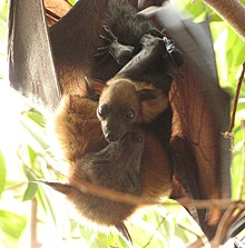A female flying fox faces the camera with her wings slightly outstretched. A young flying fox clings to her abdomen, looking at the camera with its eyes open. The mother's eyes are closed and her face is next to her offspring's.