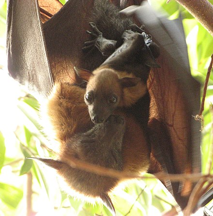 Flying fox with offspring Pteropus lylei.jpg