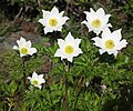 Pulsatilla alpina subsp alba RF.jpg