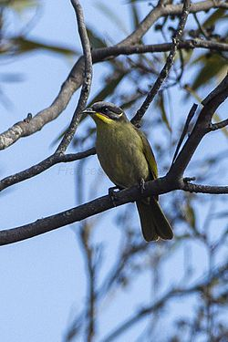 Purple-gaped Honeyeater - Little Desert NP - Victoria S4E4340 (21789936803).jpg