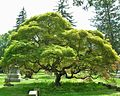 Purple Japanese Threadleaf Maple, Cedar Hill Cemetery, Hartford, CT - July 16, 2011.jpg
