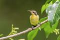 Purple Sunbird - Female.png