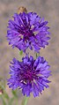 Purple cornflowers in Aspen (91213).jpg