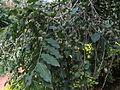Putranjiva roxburghii 03.JPG