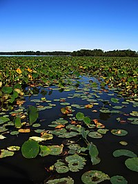A lake mostly covered with lilly pads
