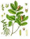 Quercus lusitanica - Köhler–s Medizinal-Pflanzen-253.jpg