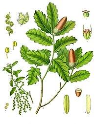 Quercus lusitanica - Köhler–s Medizinal-Pflanzen-253